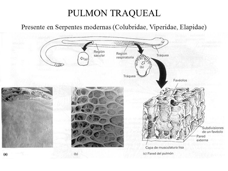 PULMON TRAQUEAL Presente en Serpentes modernas (Colubridae, Viperidae, Elapidae)