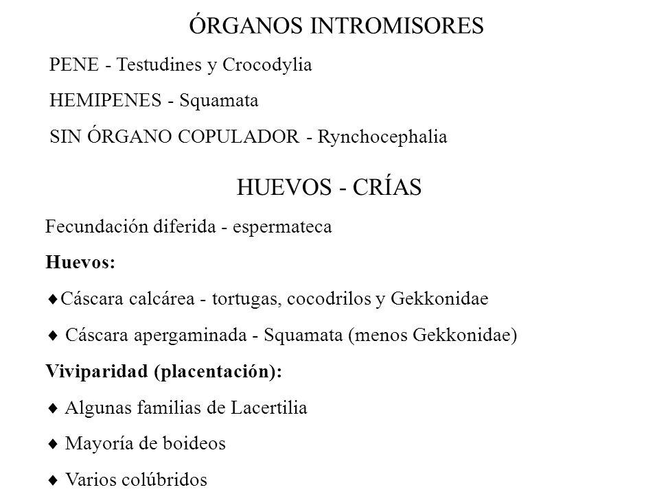 ÓRGANOS INTROMISORES PENE - Testudines y Crocodylia HEMIPENES - Squamata SIN ÓRGANO COPULADOR - Rynchocephalia HUEVOS - CRÍAS Fecundación diferida - espermateca Huevos: Cáscara calcárea - tortugas, cocodrilos y Gekkonidae Cáscara apergaminada - Squamata (menos Gekkonidae) Viviparidad (placentación): Algunas familias de Lacertilia Mayoría de boideos Varios colúbridos