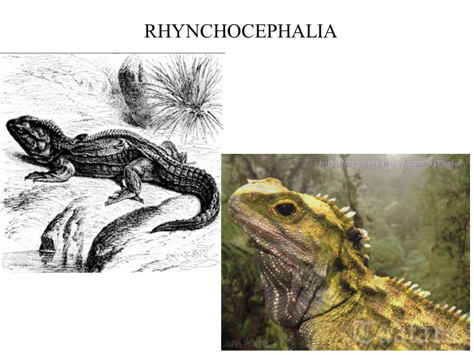 RHYNCHOCEPHALIA