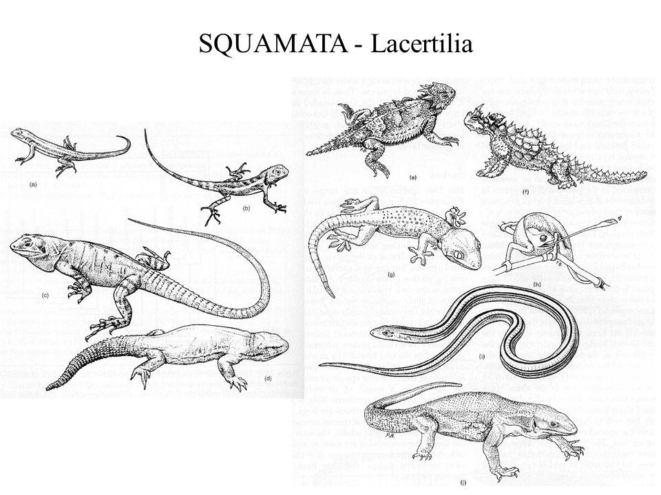 SQUAMATA - Lacertilia
