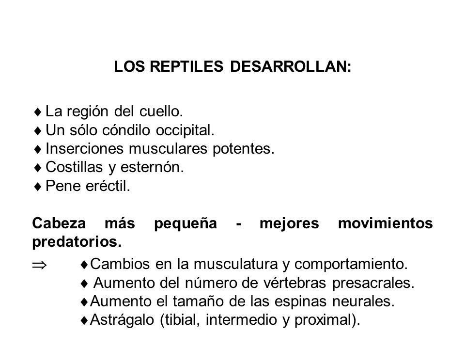 LOS REPTILES DESARROLLAN: La región del cuello.Un sólo cóndilo occipital.