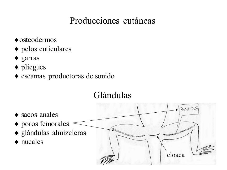 Producciones cutáneas osteodermos pelos cuticulares garras pliegues escamas productoras de sonido Glándulas sacos anales poros femorales glándulas almizcleras nucales cloaca