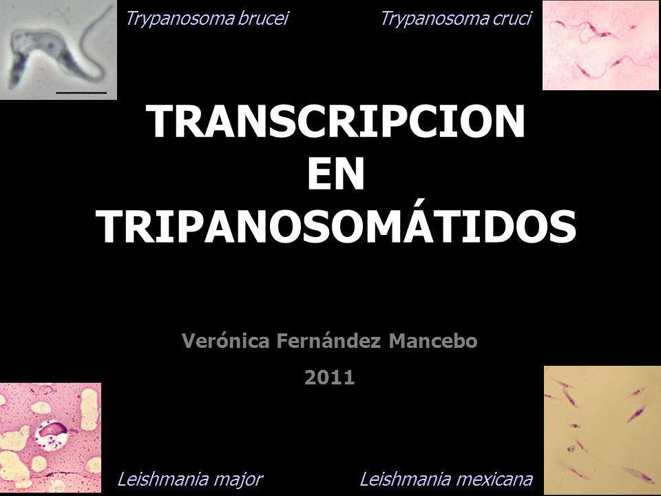 TRANSCRIPCION EN TRIPANOSOMÁTIDOS Verónica Fernández Mancebo 2011 Trypanosoma brucei Trypanosoma cruci Leishmania major Leishmania mexicana