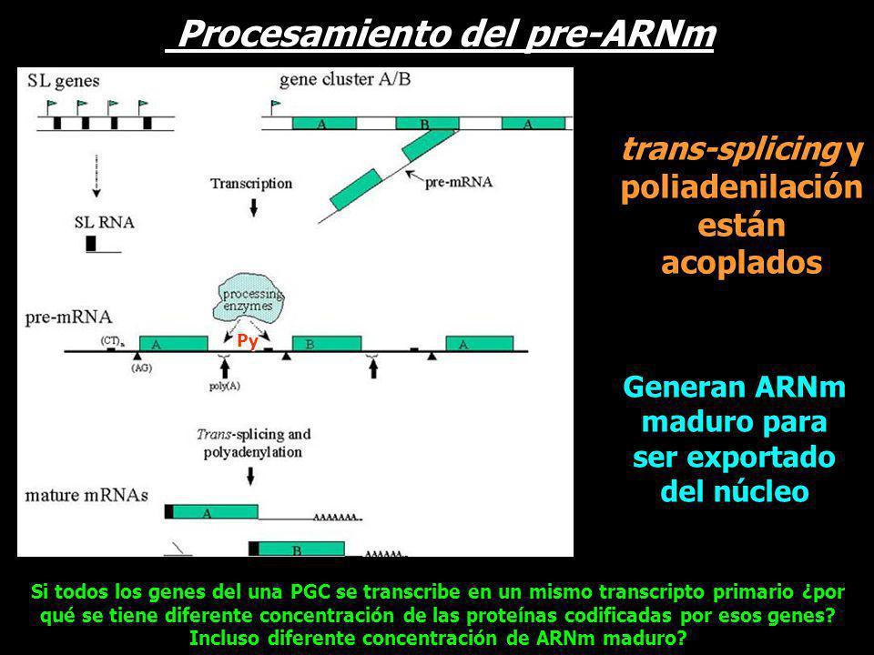 trans-splicing y poliadenilación están acoplados Generan ARNm maduro para ser exportado del núcleo Py Procesamiento del pre-ARNm Si todos los genes de
