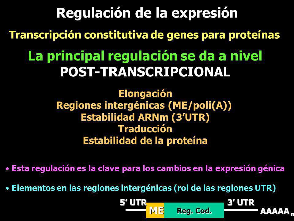 Transcripción constitutiva de genes para proteínas La principal regulación se da a nivel POST-TRANSCRIPCIONAL Elongación Regiones intergénicas (ME/pol