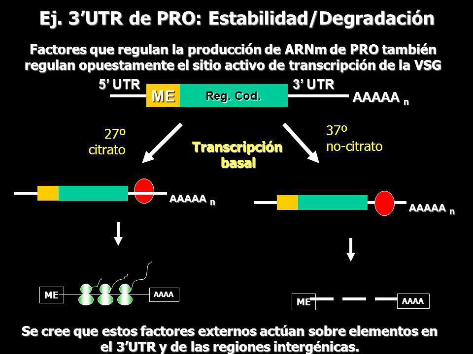 AAAAA n Ej. 3UTR de PRO: Estabilidad/Degradación AAAA ME AAAA ME Se cree que estos factores externos actúan sobre elementos en el 3UTR y de las region