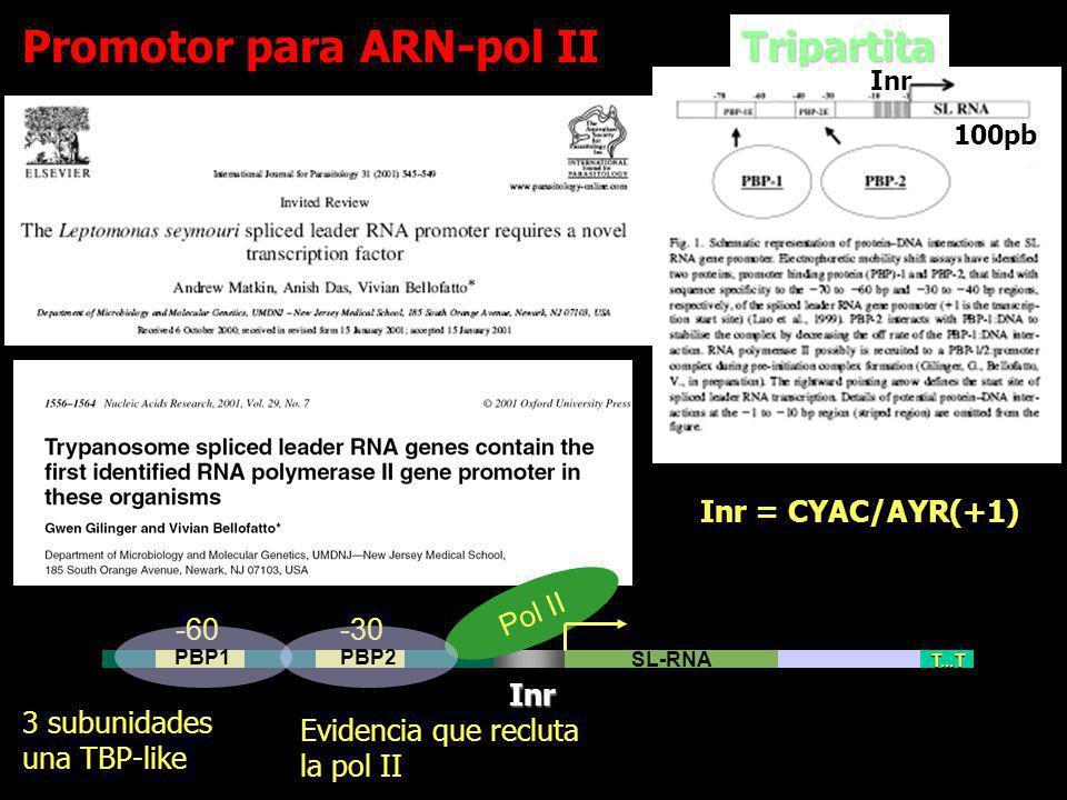 TripartitaInr 100pb Inr = CYAC/AYR(+1) SL-RNA T...T -60 -30 Pol II PBP2PBP1 3 subunidades una TBP-like Inr Inr Evidencia que recluta la pol II Promoto