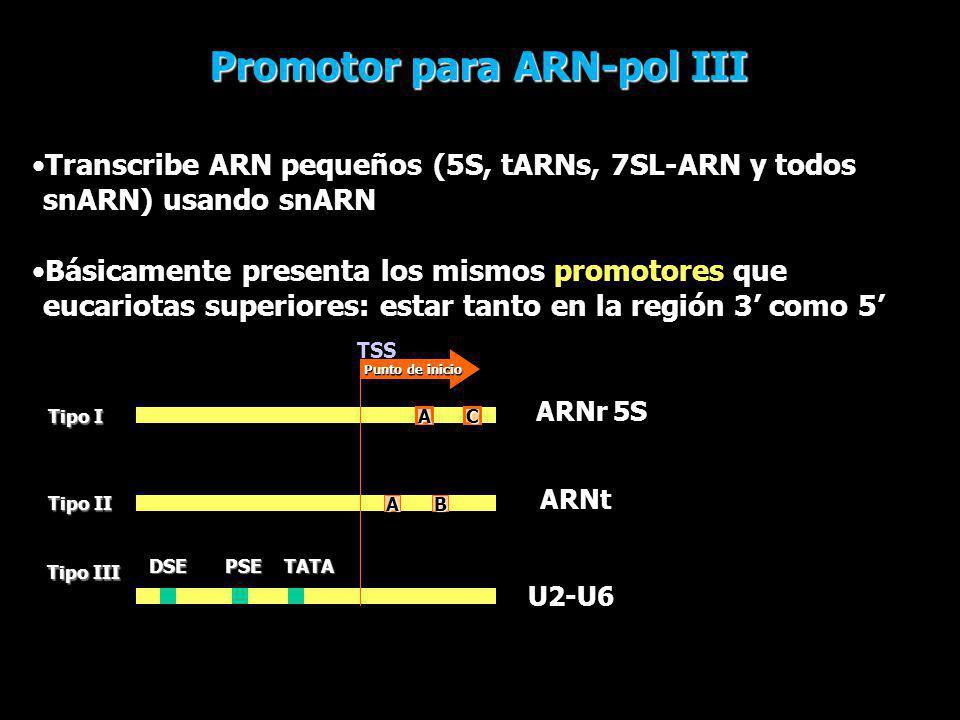 Transcribe ARN pequeños (5S, tARNs, 7SL-ARN y todos snARN) usando snARN Básicamente presenta los mismos promotores que eucariotas superiores: estar ta