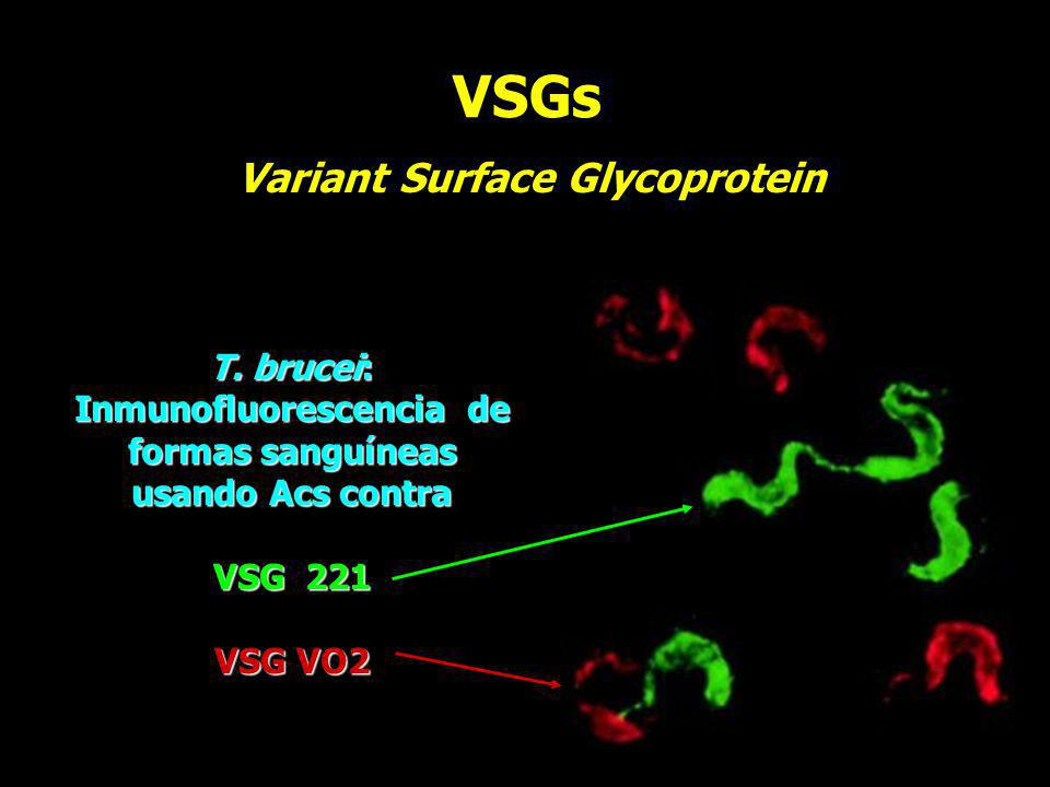 VSGs T. brucei: Inmunofluorescencia de formas sanguíneas usando Acs contra VSG 221 VSG VO2 Variant Surface Glycoprotein