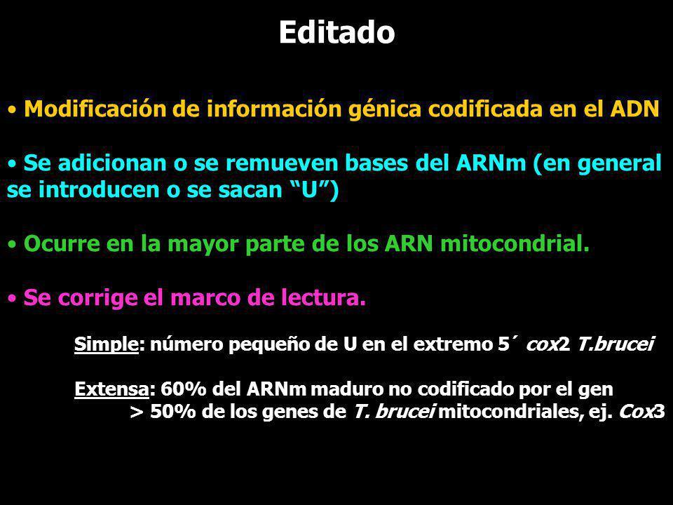 Editado Modificación de información génica codificada en el ADN Se adicionan o se remueven bases del ARNm (en general se introducen o se sacan U) Ocur