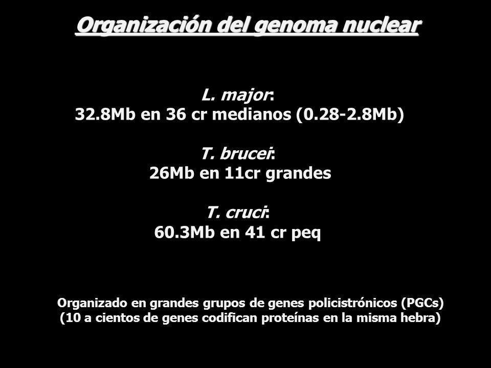 Organización del genoma nuclear L. major: 32.8Mb en 36 cr medianos (0.28-2.8Mb) T. brucei: 26Mb en 11cr grandes T. cruci: 60.3Mb en 41 cr peq Organiza