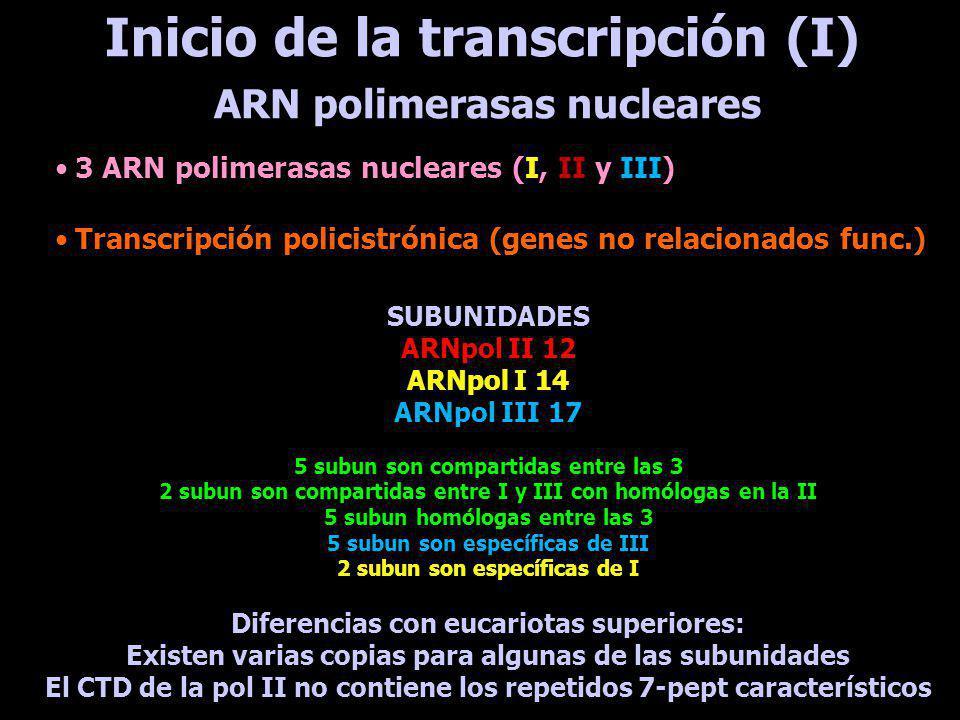 Inicio de la transcripción (II) Se han identificado muy pocos Algunos muestran clara identidad de seq con los ortólogos en levaduras y vertebrados Otros presentan muy baja identidad Para ARN-pol II: TRF4 (ortólogo div de TFIIB); SNAPc (SNAP50+SNAP2+SNAP3); TFIIA; TFIIH (9 sub); complejo PBP2 Para ARN-pol III: TFIIIB (2 subunidades) Para ARN-pol I: CITFA (específico para tripanosomátidos) Factores de transcripción