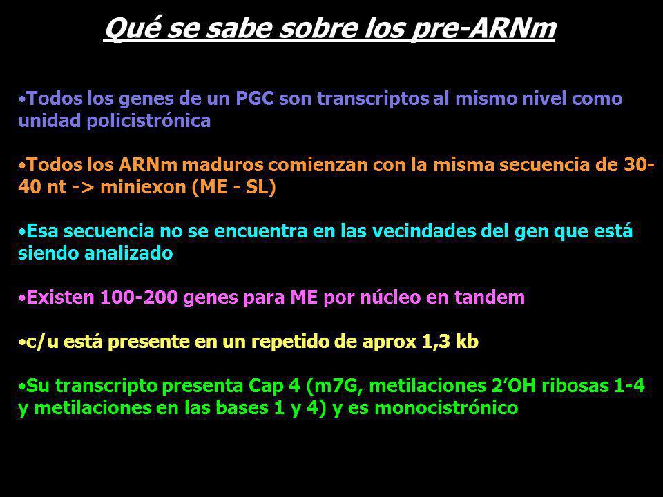 Todos los genes de un PGC son transcriptos al mismo nivel como unidad policistrónica Todos los ARNm maduros comienzan con la misma secuencia de 30- 40