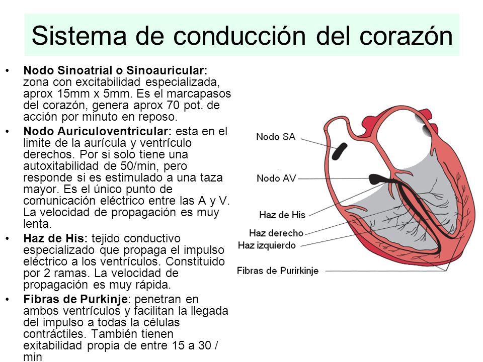 Sistema de conducción del corazón Nodo Sinoatrial o Sinoauricular: zona con excitabilidad especializada, aprox 15mm x 5mm. Es el marcapasos del corazó