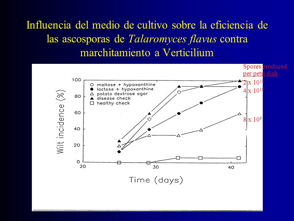 Influencia del medio de cultivo sobre la eficiencia de las ascosporas de Talaromyces flavus contra marchitamiento a Verticilium Spores produced per pe