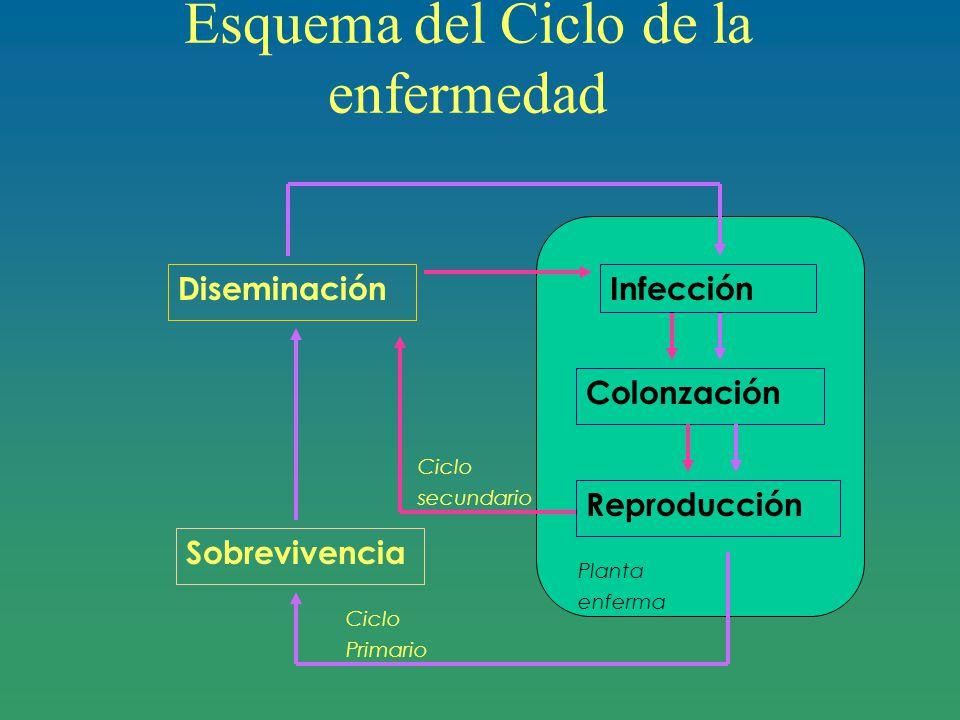 Esquema del Ciclo de la enfermedad Colonzación Reproducción Diseminación Sobrevivencia Planta enferma Ciclo secundario Ciclo Primario Infección