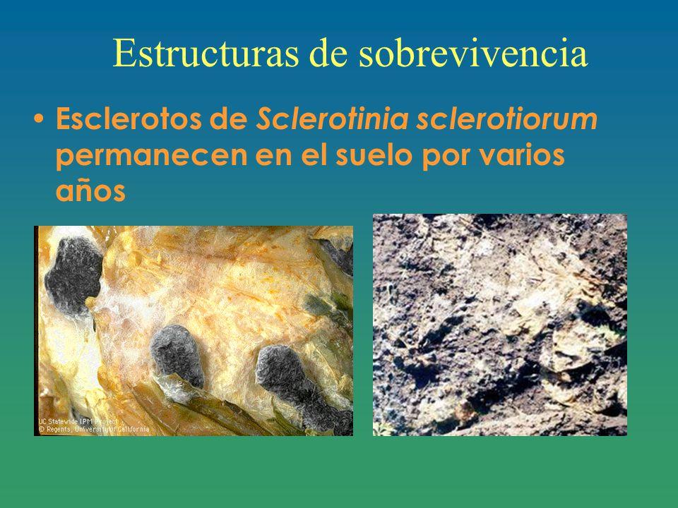 Estructuras de sobrevivencia Esclerotos de Sclerotinia sclerotiorum permanecen en el suelo por varios años