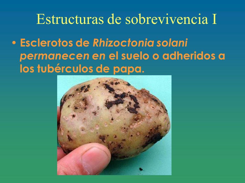 Estructuras de sobrevivencia I Esclerotos de Rhizoctonia solani permanecen en el suelo o adheridos a los tubérculos de papa.