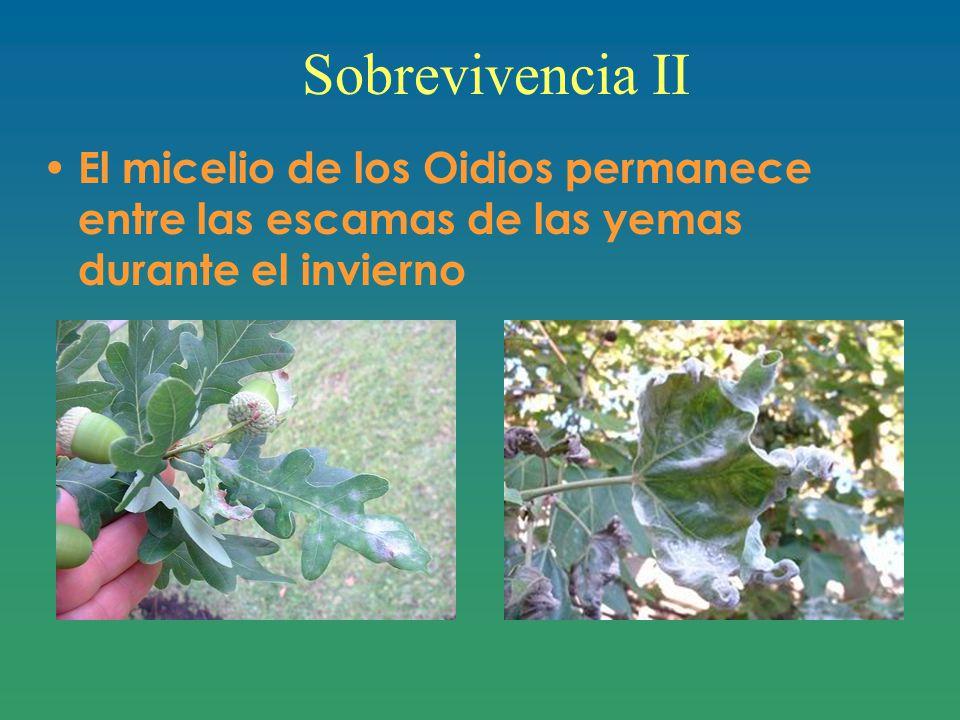 Sobrevivencia II El micelio de los Oidios permanece entre las escamas de las yemas durante el invierno