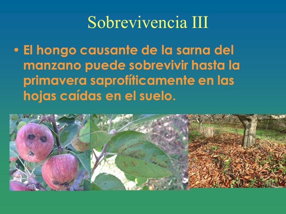 Sobrevivencia III El hongo causante de la sarna del manzano puede sobrevivir hasta la primavera saprofíticamente en las hojas caídas en el suelo.