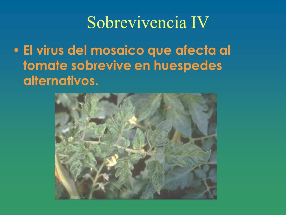 Sobrevivencia IV El virus del mosaico que afecta al tomate sobrevive en huespedes alternativos.