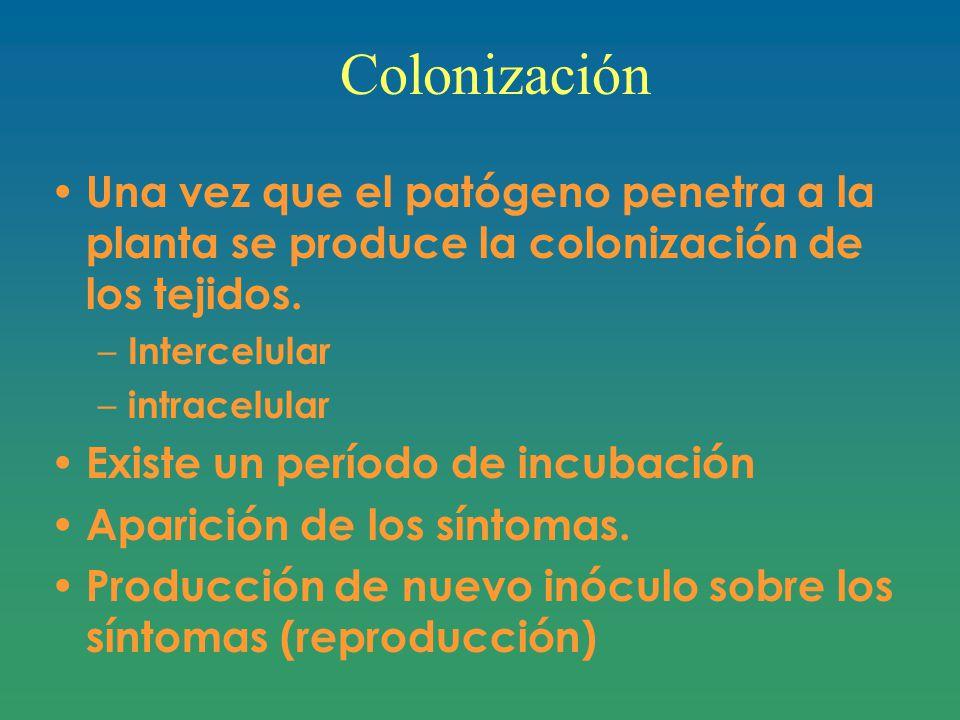 Colonización Una vez que el patógeno penetra a la planta se produce la colonización de los tejidos.