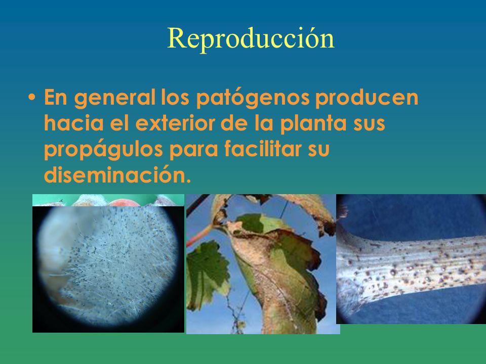 Reproducción En general los patógenos producen hacia el exterior de la planta sus propágulos para facilitar su diseminación.
