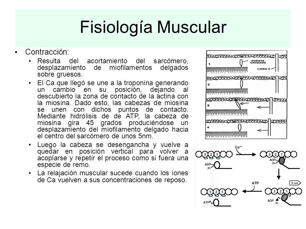 Fisiología Muscular Contracción: Resulta del acortamiento del sarcómero, desplazamiento de miofilamentos delgados sobre gruesos. El Ca que llegó se un