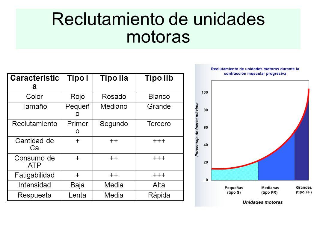 Reclutamiento de unidades motoras Característic a Tipo ITipo IIaTipo IIb ColorRojoRosadoBlanco TamañoPequeñ o MedianoGrande ReclutamientoPrimer o Segu
