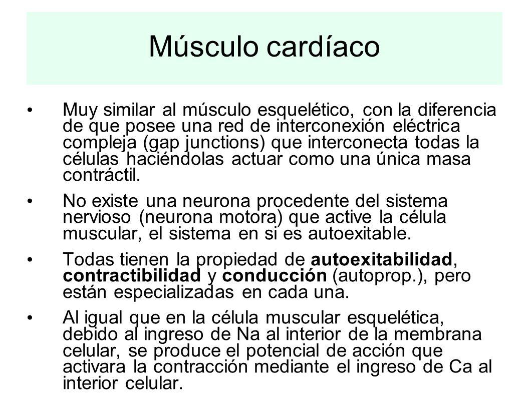 Músculo cardíaco Muy similar al músculo esquelético, con la diferencia de que posee una red de interconexión eléctrica compleja (gap junctions) que in