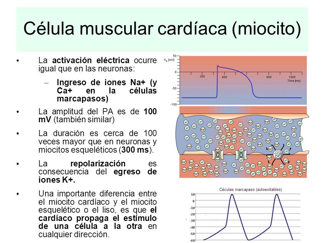 Célula muscular cardíaca (miocito) La activación eléctrica ocurre igual que en las neuronas: – Ingreso de iones Na+ (y Ca+ en la células marcapasos) L