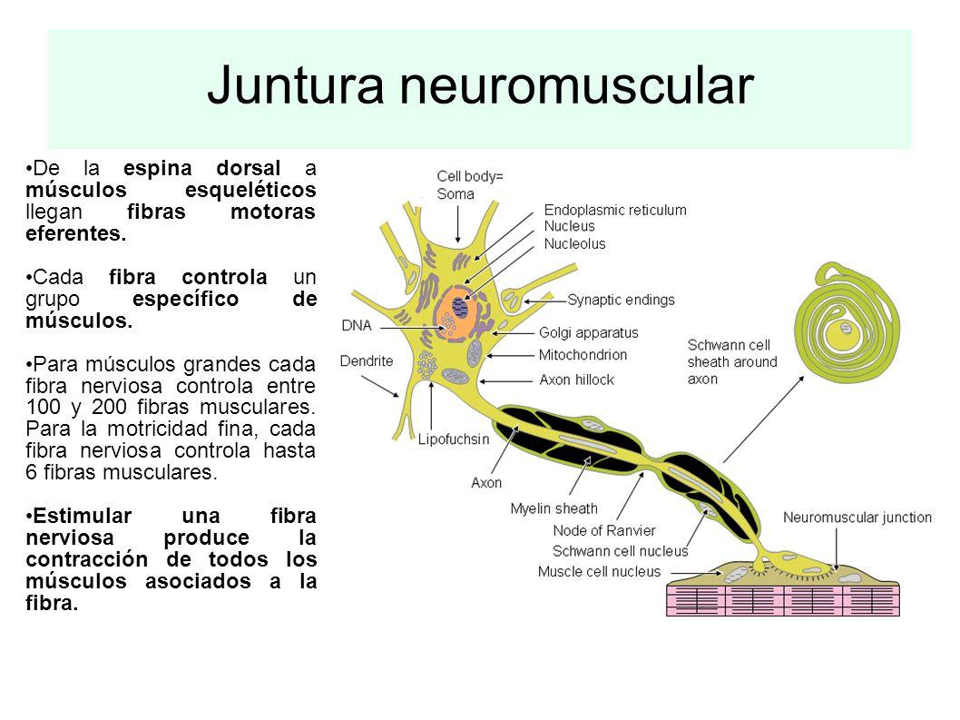 Juntura neuromuscular De la espina dorsal a músculos esqueléticos llegan fibras motoras eferentes. Cada fibra controla un grupo específico de músculos