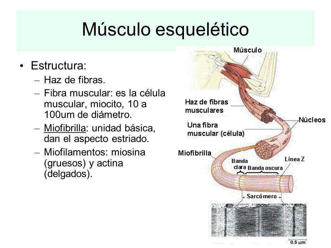 Músculo esquelético Estructura: – Haz de fibras. – Fibra muscular: es la célula muscular, miocito, 10 a 100um de diámetro. – Miofibrilla: unidad básic