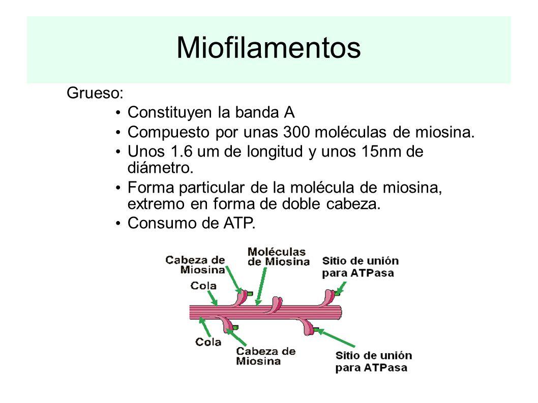 Miofilamentos Grueso: Constituyen la banda A Compuesto por unas 300 moléculas de miosina. Unos 1.6 um de longitud y unos 15nm de diámetro. Forma parti