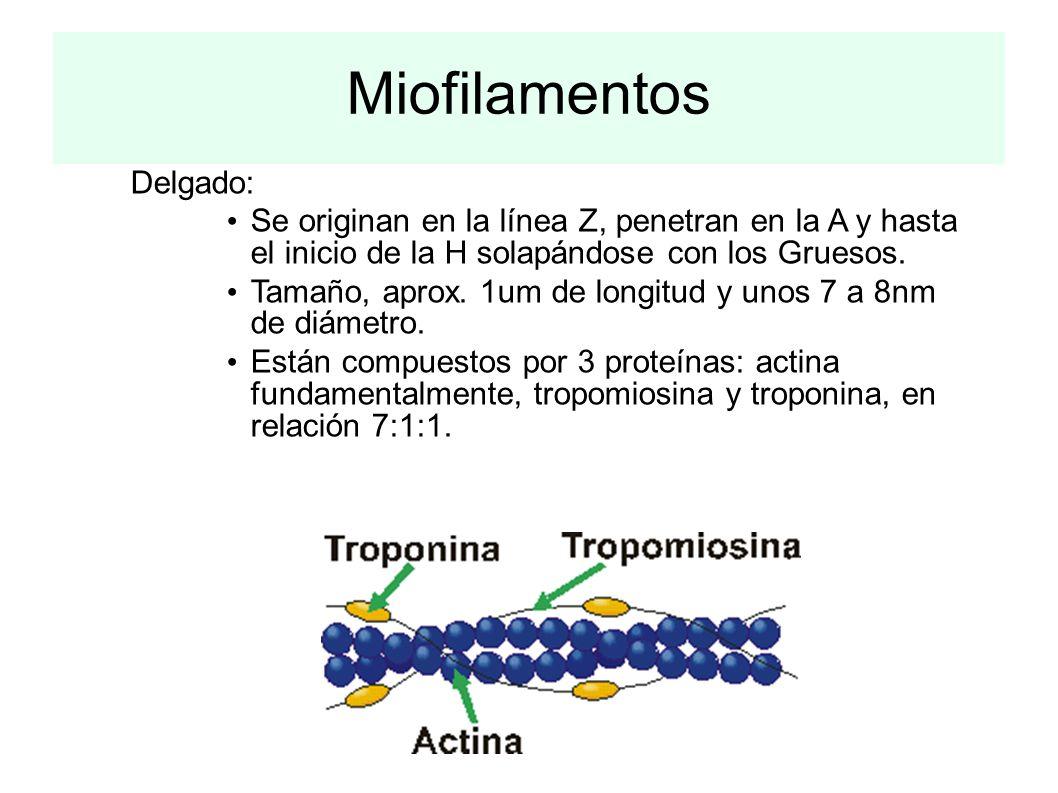 Miofilamentos Delgado: Se originan en la línea Z, penetran en la A y hasta el inicio de la H solapándose con los Gruesos. Tamaño, aprox. 1um de longit