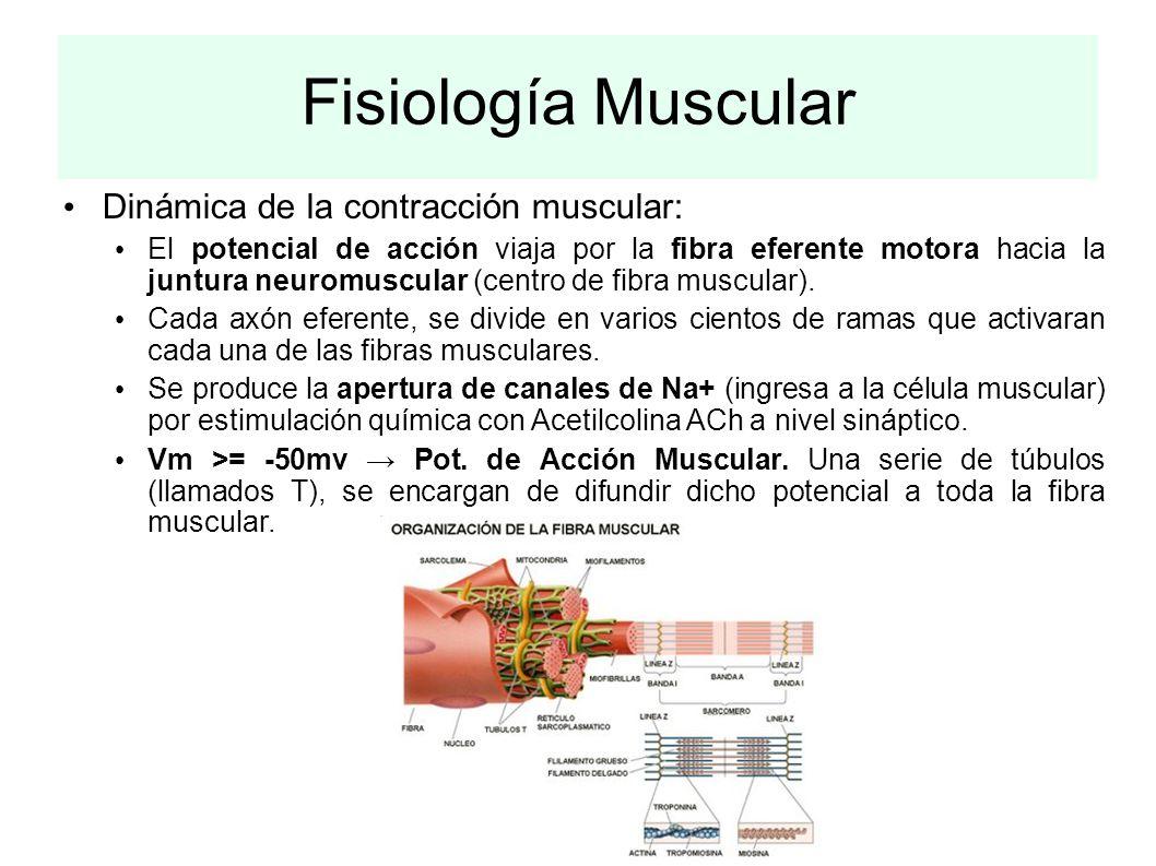Fisiología Muscular Dinámica de la contracción muscular: El potencial de acción viaja por la fibra eferente motora hacia la juntura neuromuscular (cen