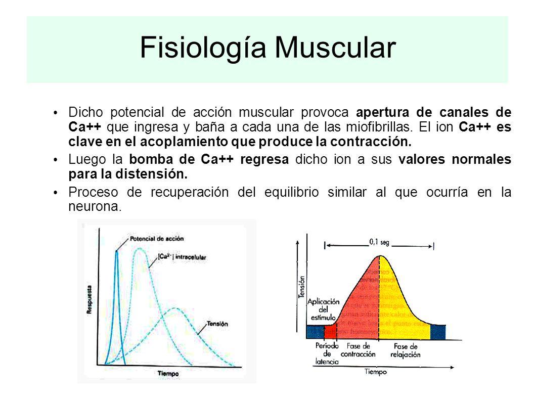 Fisiología Muscular Dicho potencial de acción muscular provoca apertura de canales de Ca++ que ingresa y baña a cada una de las miofibrillas. El ion C