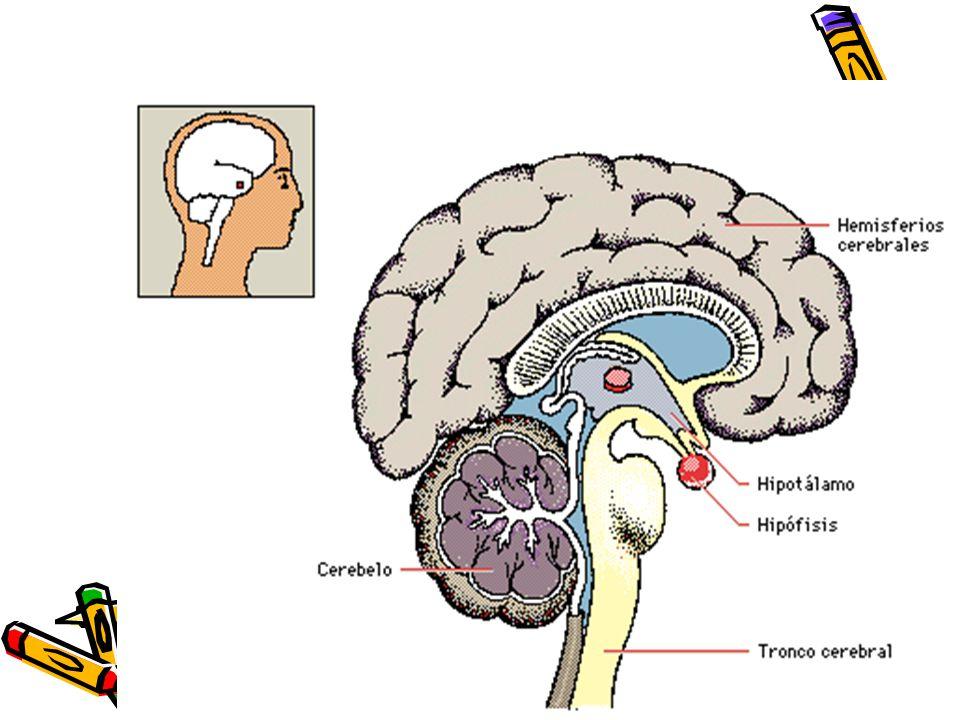 Cambios neuro hormonales: Reactivación del eje hipotálamo- hipófiso-gonadal, o eje reproductor Este eje esta operativo desde la mitad de la gestación