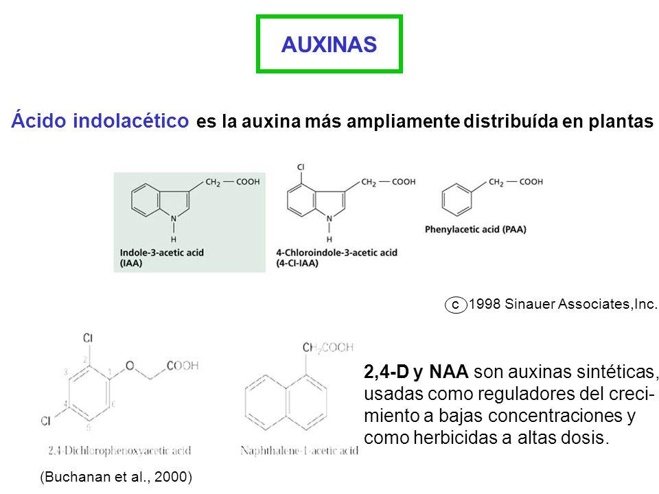 AUXINAS Ácido indolacético es la auxina más ampliamente distribuída en plantas c1998 Sinauer Associates,Inc. 2,4-D y NAA son auxinas sintéticas, usada