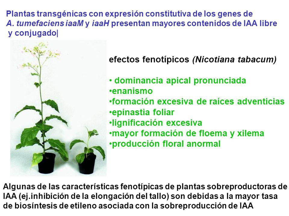 Plantas transgénicas con expresión constitutiva de los genes de A. tumefaciens iaaM y iaaH presentan mayores contenidos de IAA libre y conjugado| efec