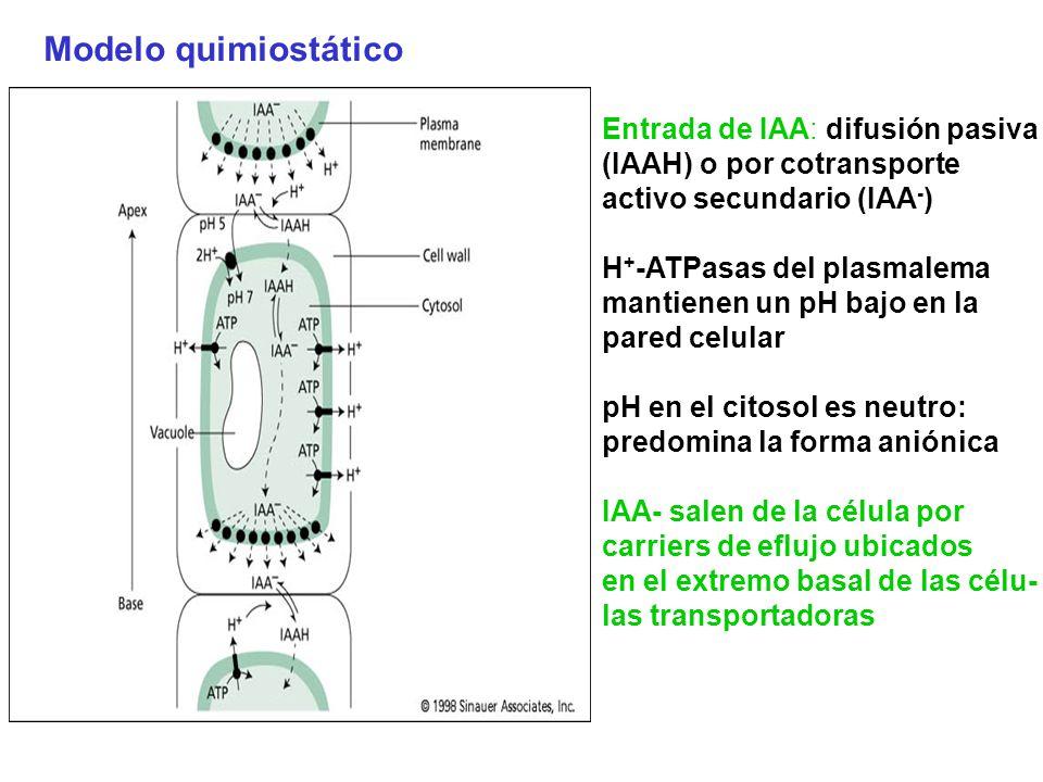 Modelo quimiostático Entrada de IAA: difusión pasiva (IAAH) o por cotransporte activo secundario (IAA - ) H + -ATPasas del plasmalema mantienen un pH
