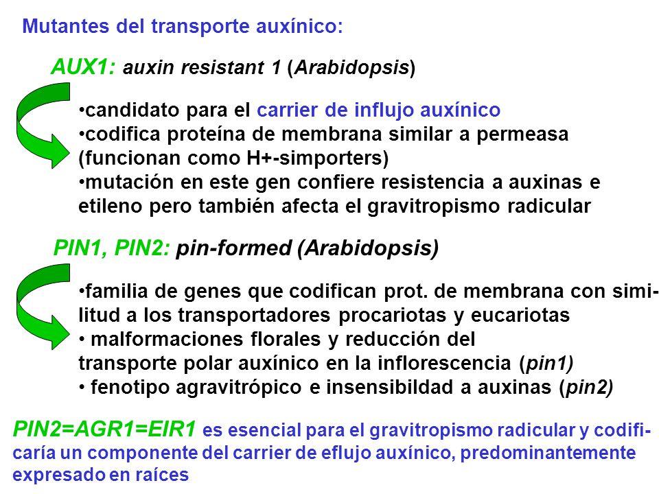 Mutantes del transporte auxínico: AUX1: auxin resistant 1 (Arabidopsis) candidato para el carrier de influjo auxínico codifica proteína de membrana si