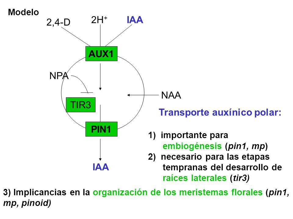 Modelo AUX1 PIN1 2H + IAA NAA IAA 2,4-D TIR3 NPA Transporte auxínico polar: 1) importante para embiogénesis (pin1, mp) 2) necesario para las etapas te