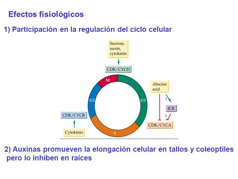 Efectos fisiológicos 1) Participación en la regulación del ciclo celular 2) Auxinas promueven la elongación celular en tallos y coleoptiles pero lo in