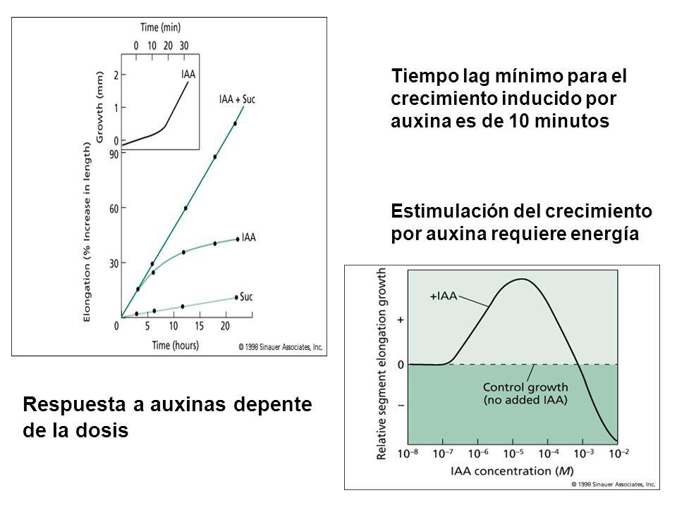 Tiempo lag mínimo para el crecimiento inducido por auxina es de 10 minutos Estimulación del crecimiento por auxina requiere energía Respuesta a auxina