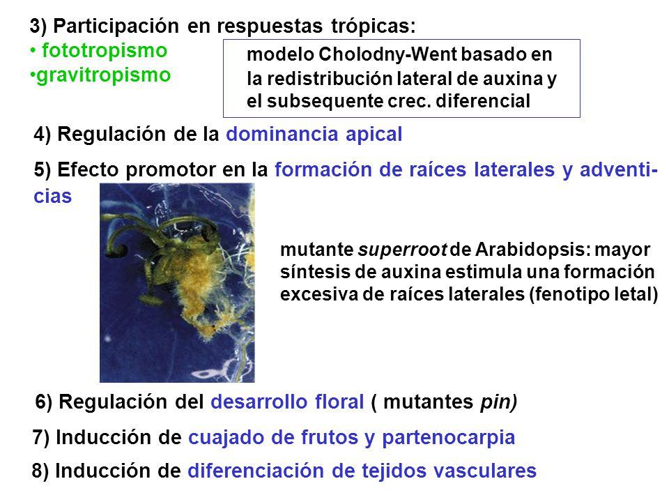 3) Participación en respuestas trópicas: fototropismo gravitropismo modelo Cholodny-Went basado en la redistribución lateral de auxina y el subsequent