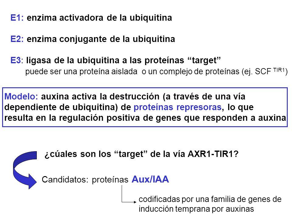 E1: enzima activadora de la ubiquitina E2: enzima conjugante de la ubiquitina E3: ligasa de la ubiquitina a las proteínas target puede ser una proteín