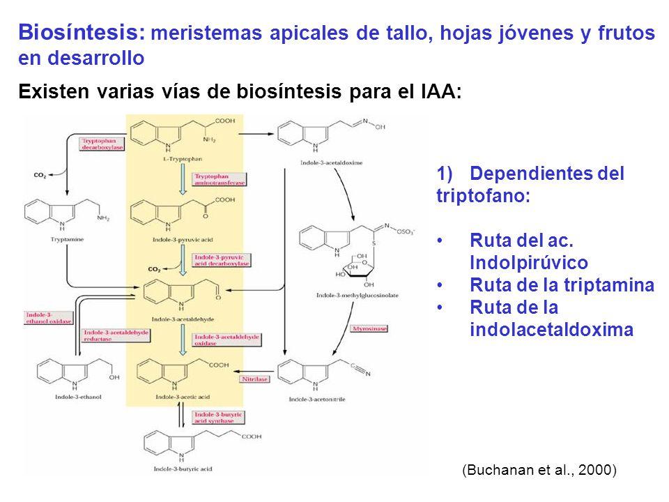 Biosíntesis: meristemas apicales de tallo, hojas jóvenes y frutos en desarrollo Existen varias vías de biosíntesis para el IAA: (Buchanan et al., 2000