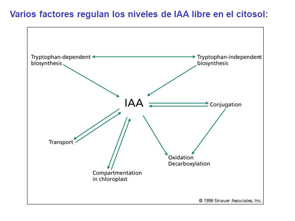mayoría del IAA en la planta está en forma conjugada Funciones de las formas conjugadas: Almacenamiento Transporte Protección contra degradación oxidativa