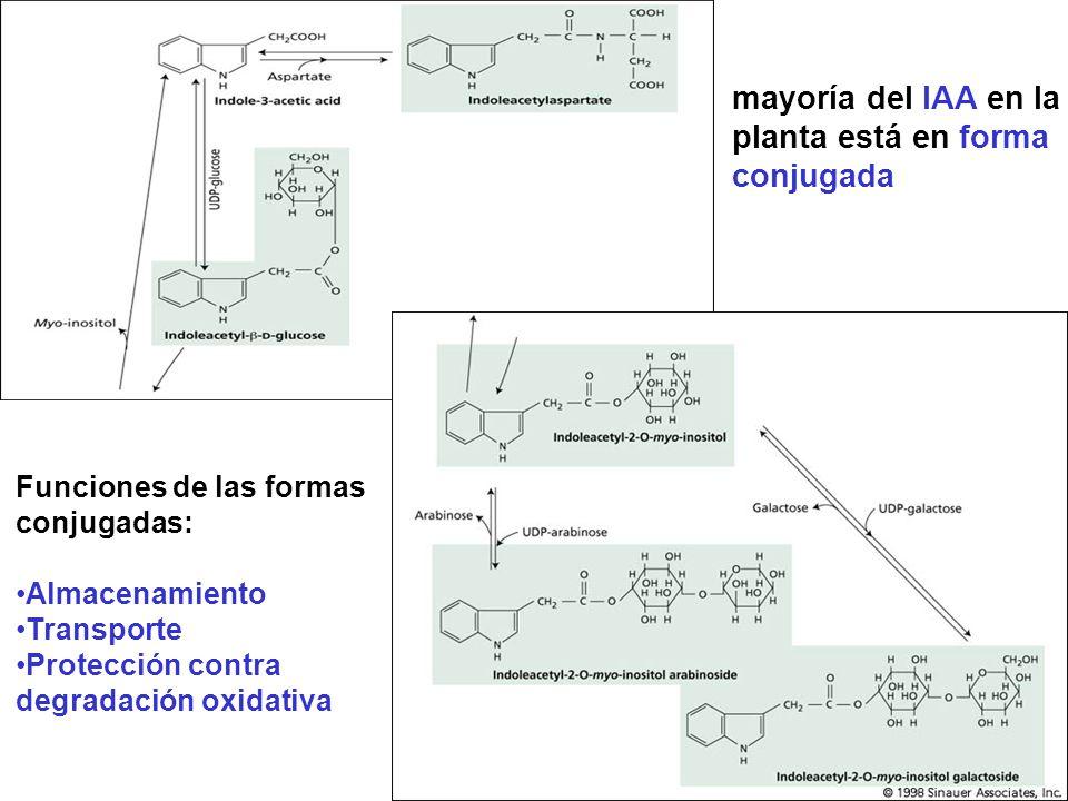 Existen varias vías de degradación para el IAA: 1)Oxidación descarboxilativa: por medio de la enzima IAA oxidasa (peroxidasa) (Buchanan et al., 2000) Indol-metanol, indol-aldehído y ácido indol-carboxílico han sido aislados de plantas superiores Ruta descarboxilativa tiene una importancia relativa menor en la regulación del pool endógeno de IAA